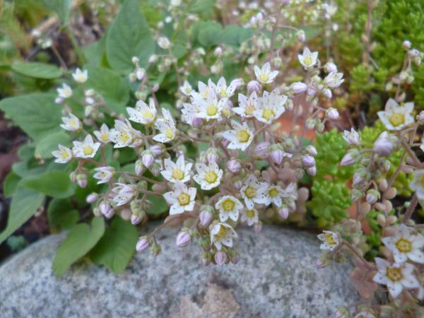 Sedum dasyphyllum, covered in flowers