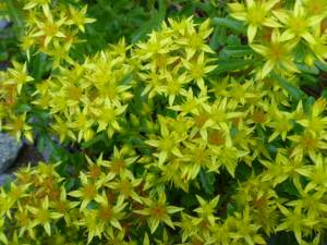 Sedum kamschaticum with a riot of bloom