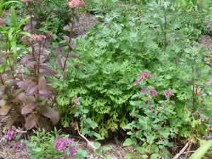 Sedum for Border
