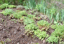 Sedum tapestry maturing and getting established...