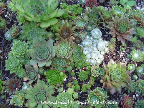 Sempervivum mosaic with many textures and colors of hens and chicks...