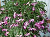 Schlumbergera, the Christmas Cactus