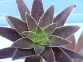 Succulent Plant Identification