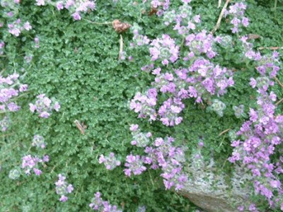 Thymus Elfin in full bloom