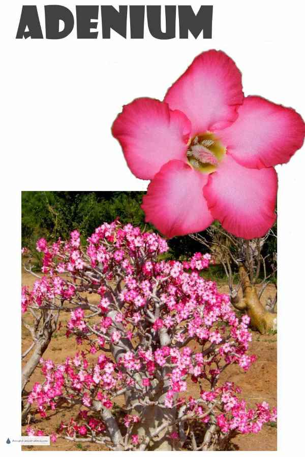 Adenium, the Desert Rose