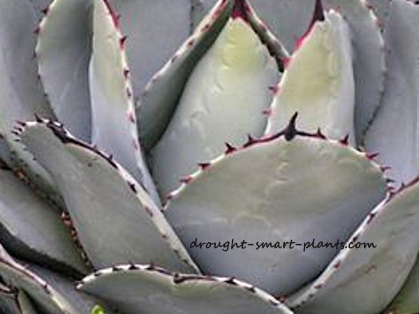 Agave watermarks are spectacular in some species