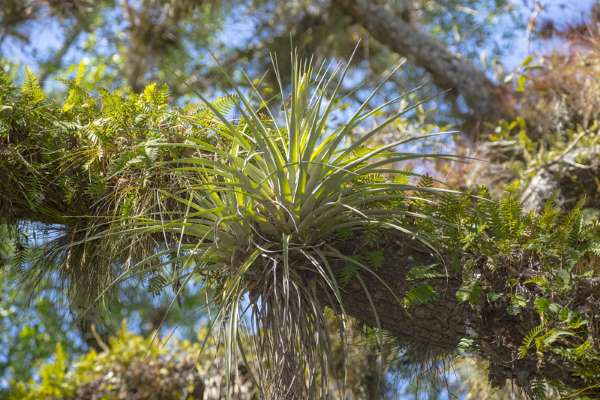 Airplant in its native habitat