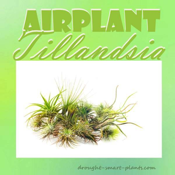 Airplant - Tillandsia