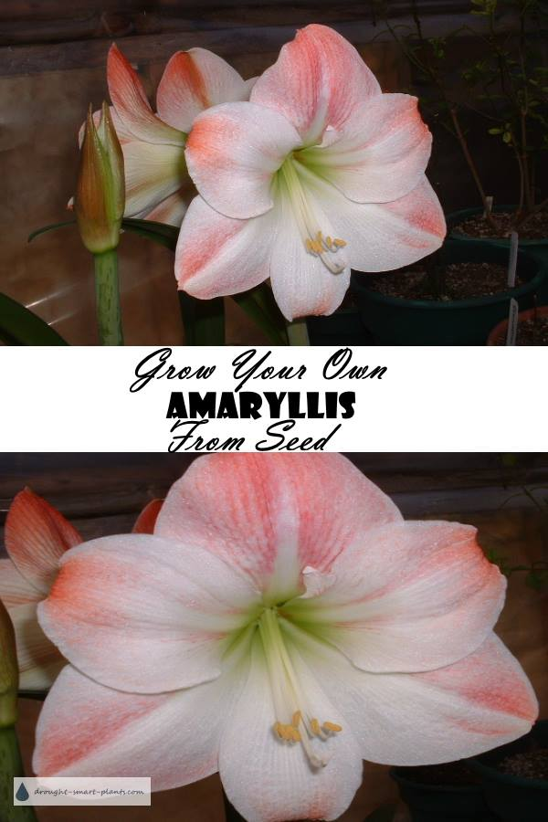 Growing Amaryllis from seed is easy...