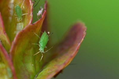 an aphid infestation starts with just one aphid