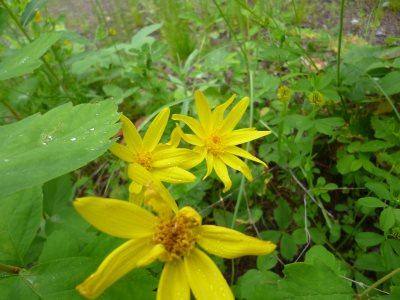 Arnic cordifolia, Heart Leaved Arnica