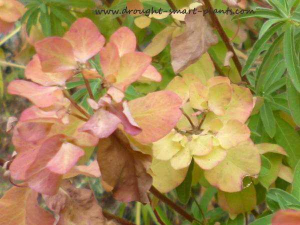 Euphorbia polychroma is show stopping in summer bloom, but lovely and much more easy on the eyes in the fall...