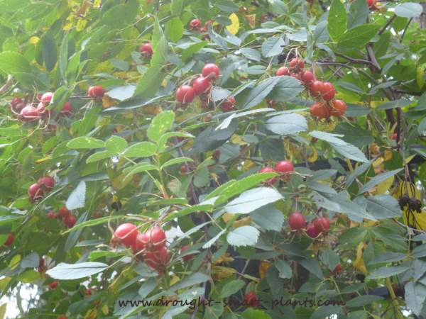 Rose hips are a valuable food source for grouse...