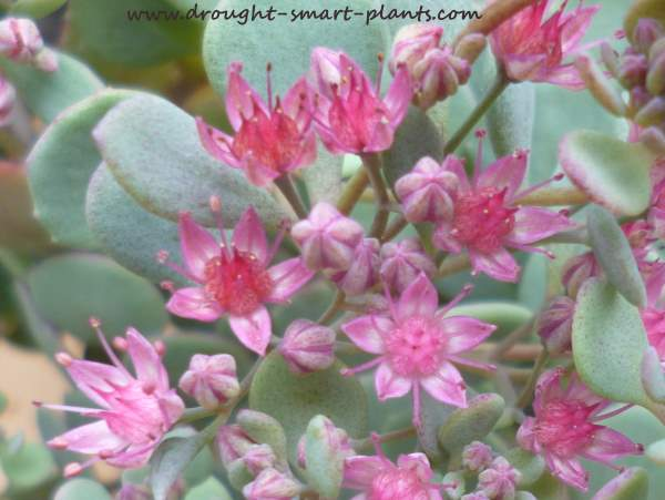 Close up, the blooms of Sedum cauticolumn are intricate and lovely...