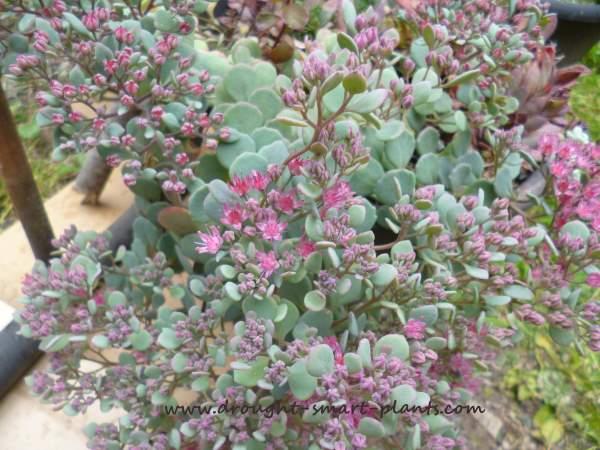 Sedum cauticolumn starting to bloom in September...