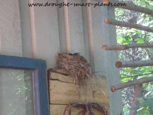 Baby robins, peeking over the side of the nest