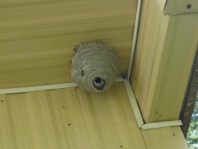 Bald Faced Hornet nest - thankfully, empty now
