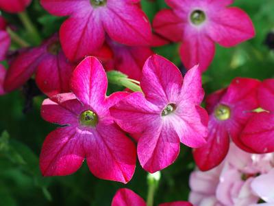 Nicotiana (annual) beloved by bees