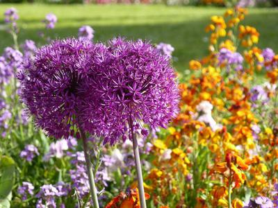 Allium (perennial), Stocks (annual) Wallflowers (biennial)
