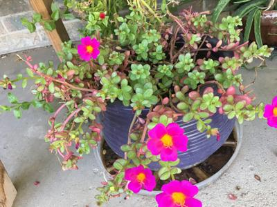 Bright Pink Flowers With Yellow Centers And Green To Reddish Leaves