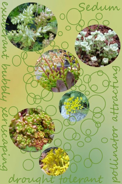 Infographic Ideas infographics sedums for sale : Sedum Plant List - find your favorite stonecrop here