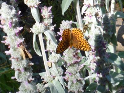 Great Spangled Fritillary Butterfly on Stachys lanata