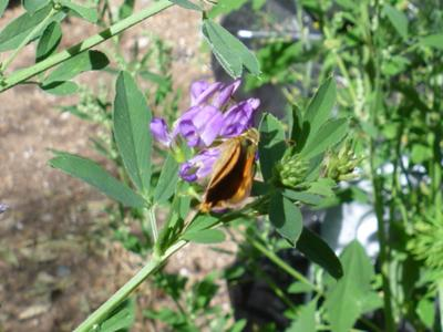 Skipper on Alfalfa bloom