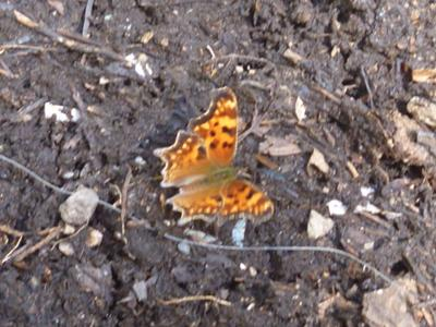 Comma Butterfly on compost