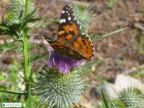 Butterflies of all kinds will flock to a lesser maintained garden...