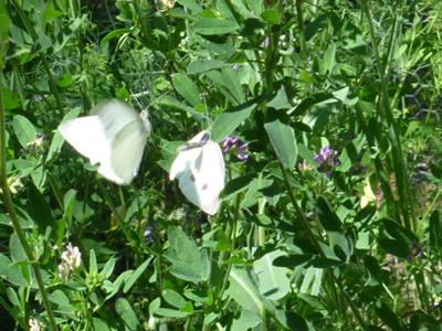 adults Cabbage White butterflies in action