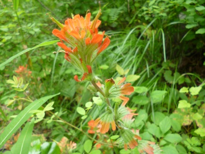 Castilejea miniata, Indian Paintbrush