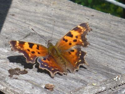 the male Comma will perch on bare wood