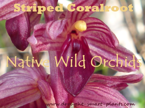 Striped Coral Root,  one of the native wild orchids in my area...