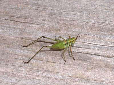 small green cricket
