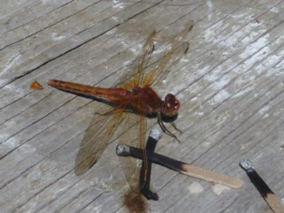 Red Skimmer with matches to show scale