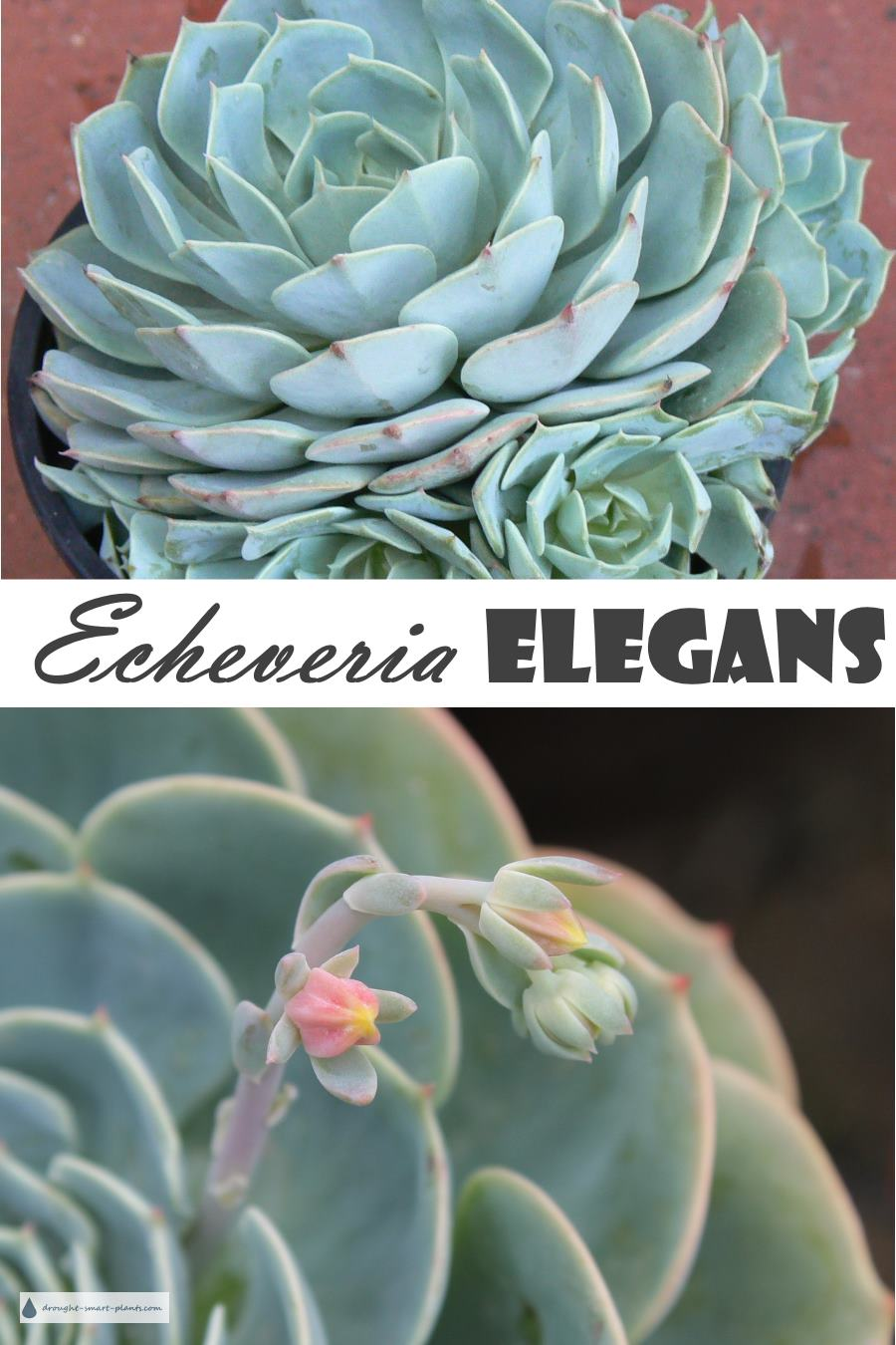 Echeveria Elegans The Mexican Hens And Chicks