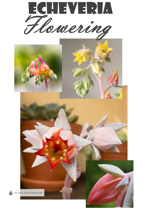 Echeveria Flowering - an amazing sight - collage of many different kinds