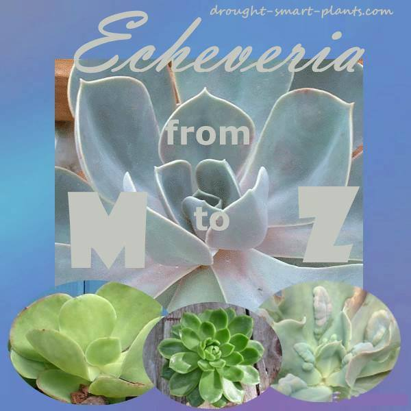 Echeveria from M to Z