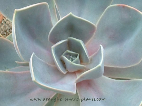 Echeveria 'Perle von Nurnberg' is one of the most beautiful of all...