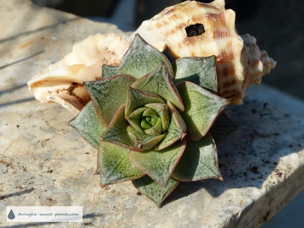 Echeveria purposorum planted in a seashell