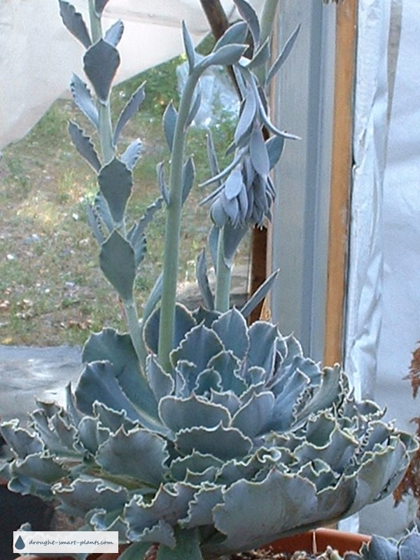 Typical flower stems of Echeveria