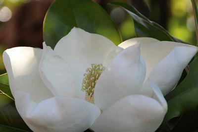 Magnolia 'Edith Bogue'