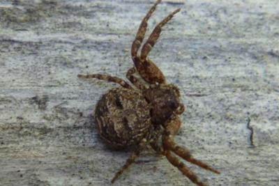 Elegant Crab Spider released from captivity