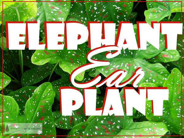 Elephant Ear Plant Caladium And Colocasia