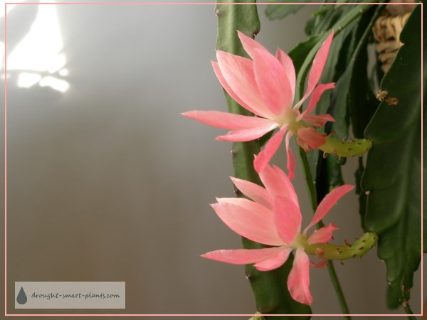 Epiphyllum oxypetalum hybrid in full bloom