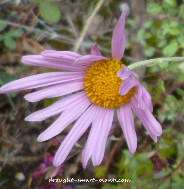 Pretty pink perennial aster