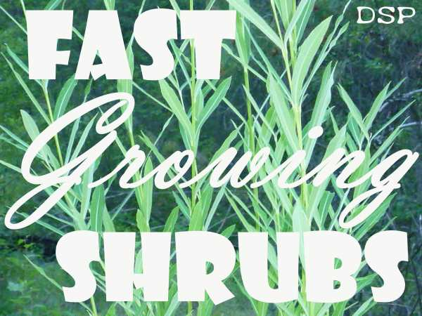 Fast Growing Shrubs Xeriscape Gardens Need Some Of These