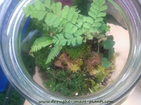 Delicate maiden hair ferns are perfect terrarium subjects...