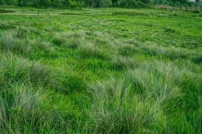 Grassy Meadow with Fescue