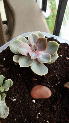 I think this is an echeveria of some kind. I'm not sure (Echeveria 'Perle Von Nurnberg')